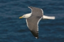 Black-backed gull in flight