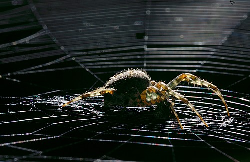 Garden spider on her web